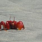 Red_crab_sonadia_coxs'_bazaar